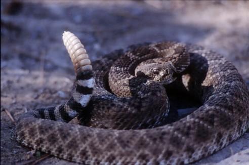 Serpente a sonagli(19